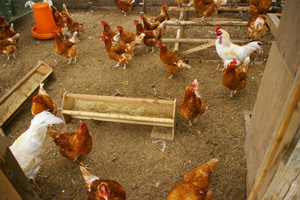自由にのびのびと過ごす鶏達