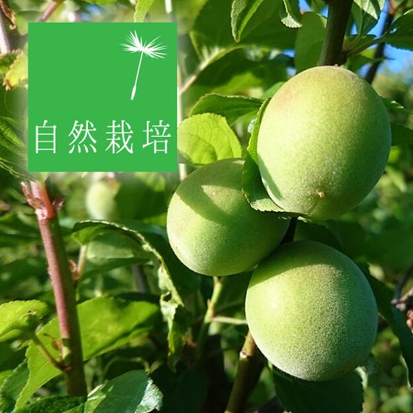 無肥料・自然栽培の南高梅の青梅