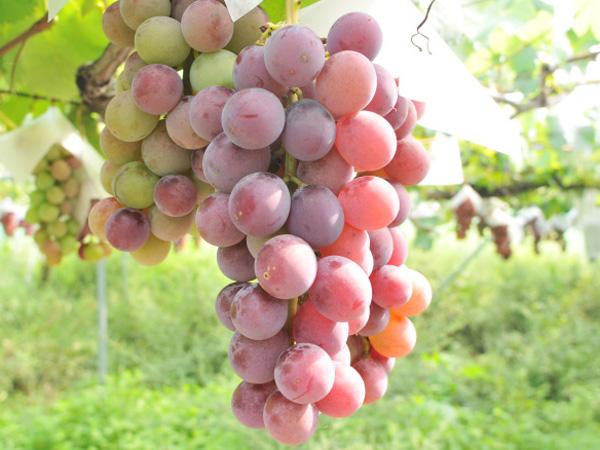 無肥料自然栽培の葡萄「ドラゴンボール」