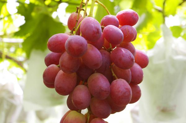 無肥料自然栽培の葡萄「リザマート」