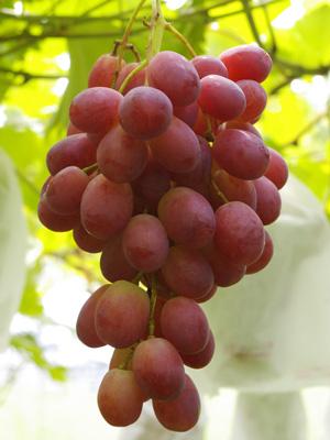 砂漠の葡萄リザマート