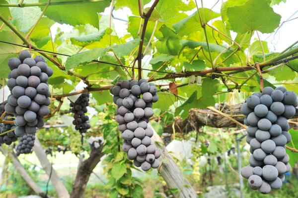 無肥料自然栽培の葡萄「スチューベン」