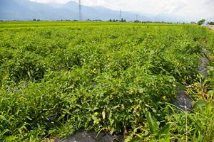 森の菜の会のトマト畑