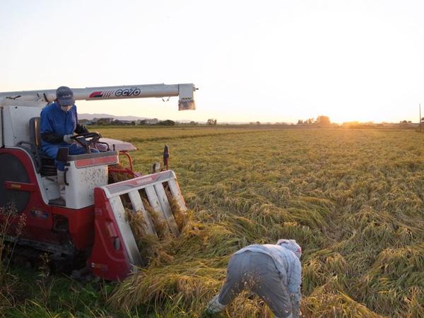 無肥料・自然栽培成澤さんのササニシキの収穫
