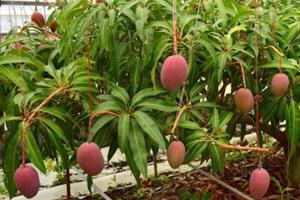 無肥料自然栽培マンゴー