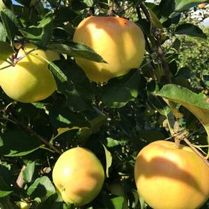 工藤さんのリンゴ