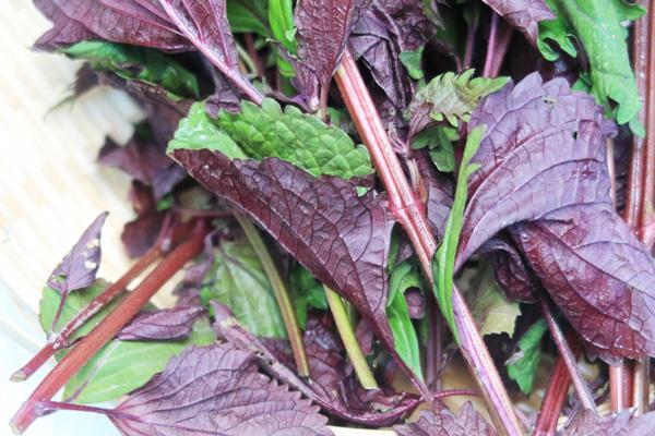 無肥料・自然栽培の赤紫蘇